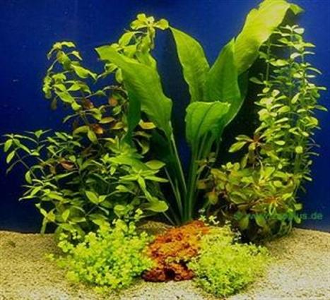 Les plantes for Aquarium pflanzen