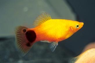 Voici différents races de poissons d'eau douce pour votre aquarium Guppy Fish Eggs In Tank